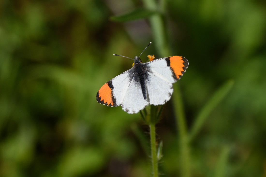 Sara Orange-tip