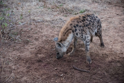 Spotted Hyena at Lion Kill