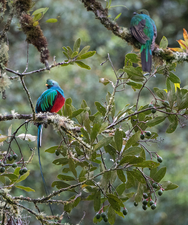 Resplendent Quetzal (Male and Female)