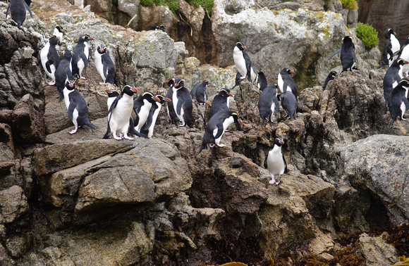 Snares Crested Penguin Colony