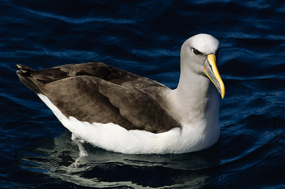 Northern Buller's Albatross