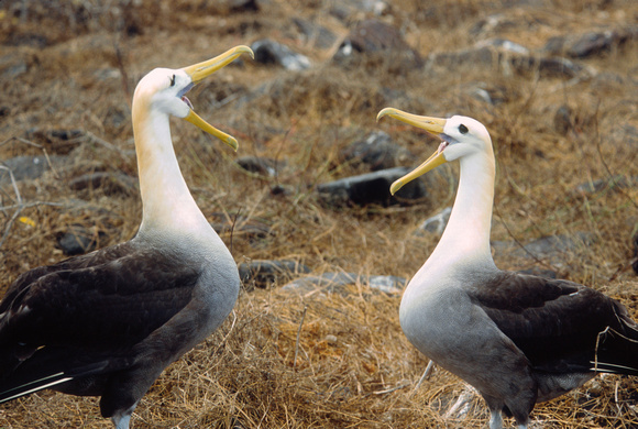 Courting Waved Albatross