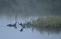 Pacific Loons in the Fog