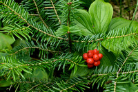 Balsam Fir and Bunchberry