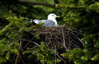 Mew Gull on Nest