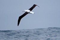 Royal Albatross over the Humboldt Current, Chile