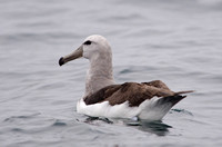 Salvin's Albatross, Humboldt Current Chile