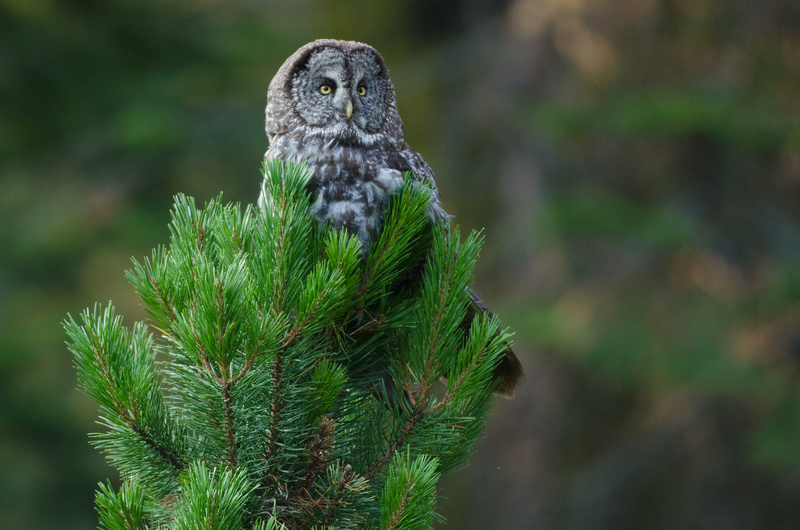 Day 7 - Great Gray Owl