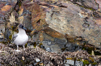 Light-mantled Sooty Albatross