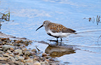Alternate Plumage Dunlin