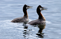 Courting Red-necked Grebes
