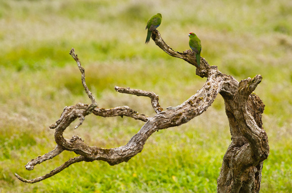 Red-crowned Parakeets
