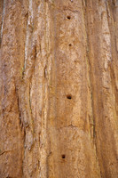 Woodpecker Holes in Giant Sequoia