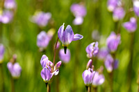 Sierra Shooting Stars (Dodecatheon jeffreyi)